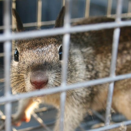 squirrel-inside-crandell-pest-trap