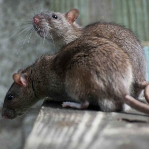 Rodent Removal Services In Mesa - Crandell Pest Control