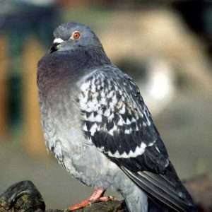 pigeon-atop-fence-in-phoenix
