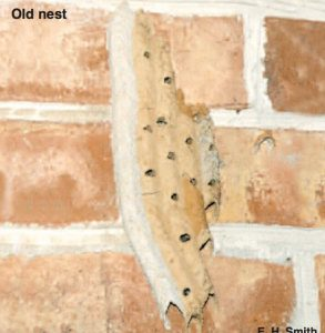 mud dauber old nest