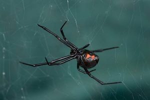 black widow spider exterminator queen creek