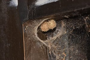 what does a black widow spider nest look like?