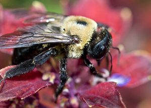up close picture of a carpenter bee
