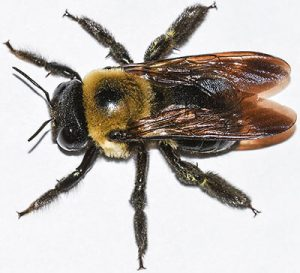 what's the difference in a carpenter bee and a bumble bee?
