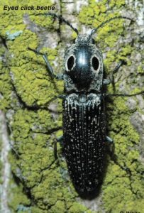 pest control for click beetles in queen creek az