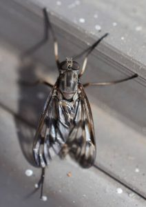 what does a horse fly look like?