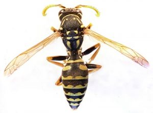 what do paper wasps look like?