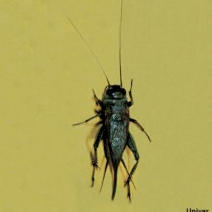 pest control for crickets in queen creek