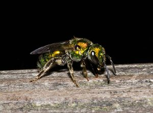 what do solitary bees look like?