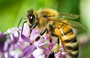 what do honey bees look like?