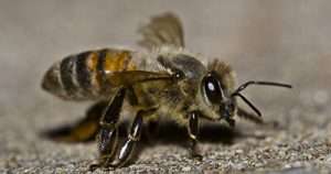 close up of honey bee