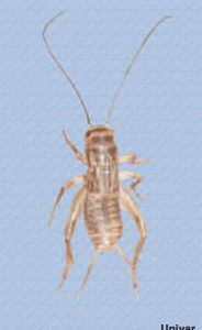 cricket pest control mesa, az