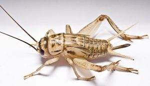 what do house crickets look like?