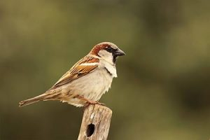 what does the English sparrow look like?