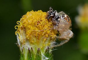 what does a jumping spider look like?