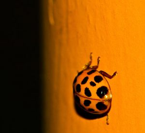 pest control for ladybugs in queen creek az