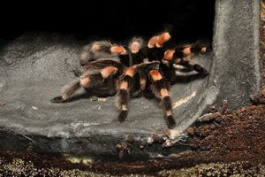 what do Mexican red kneed tarantulas look like?