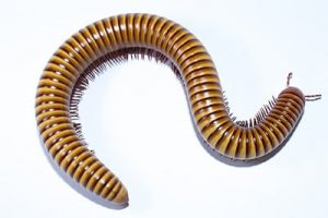 what do millipedes look like?