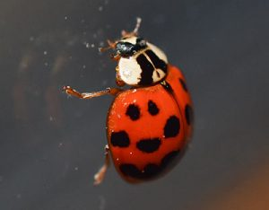 what do ladybugs look like?