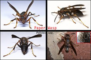 paper wasp pest control queen creek
