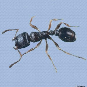 pavement ant control Phoenix arizona