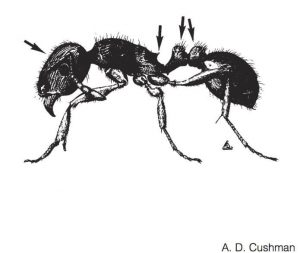 how to get rid of ants in Phoenix