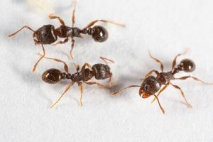 what do pavement ants look like?