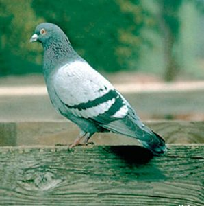 pest company for pigeons in mesa