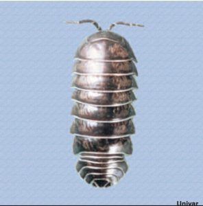 what is a Rollie pollie?