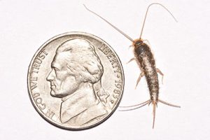 how big is a silverfish bug?