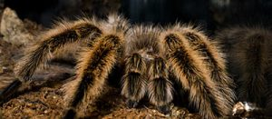 are there tarantulas in arizona?