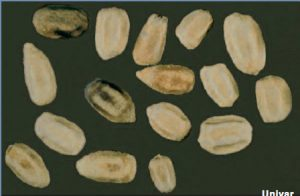 what do termite eggs look like?