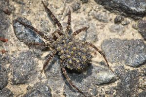what does a wolf spider look like?