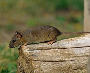 wood rat pest control queen creek az