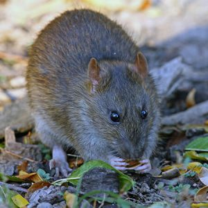 exterminator for wood rats queen creek