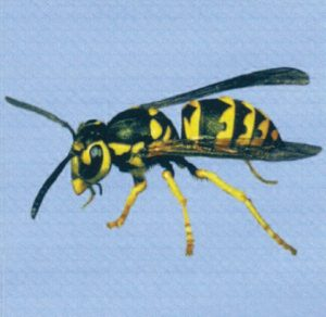 pest control exterminator for Yellowjackets in queen creek arizona